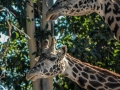 Giraffs1000