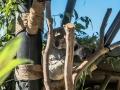 Koala1000