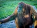 Orangutan1000