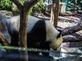 Panda1000